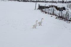 Witte ganzen die op een wit gebied lopen dat met sneeuw in Januari wordt behandeld stock fotografie