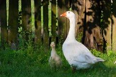 Witte ganzen en weinig gesse op groen gras dichtbij fencef stock fotografie
