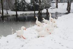 Witte ganzen onder de sneeuw Stock Foto's