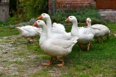Witte ganzen op een landbouwbedrijf Royalty-vrije Stock Foto's