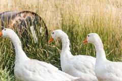 Witte ganzen op een landbouwbedrijf Stock Foto