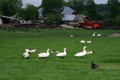 Witte ganzenfamilie in de lente Royalty-vrije Stock Afbeelding