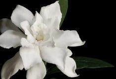 Witte Gardenia Stock Foto