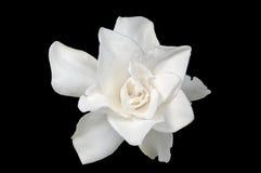 Witte gardenia Royalty-vrije Stock Foto's