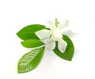 Witte gardenia stock afbeelding
