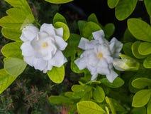 Witte Gardenia Blooming in het Regenachtige Seizoen stock afbeelding