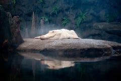 Witte Gator Royalty-vrije Stock Fotografie