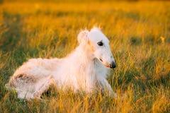 Witte Gazehound-Jachthond Sit Outdoor In Summer Meadow Groen G royalty-vrije stock fotografie