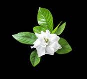 Witte geïsoleerde bloem en groen blad Stock Foto