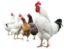 Witte geïsoleerde haan en kippen Royalty-vrije Stock Afbeeldingen