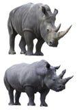 Witte geïsoleerdei rinocerosrinoceros Stock Fotografie