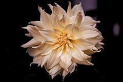 Witte geïsoleerden bloem Stock Foto