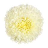 Witte geïsoleerder chrysant, stock foto's