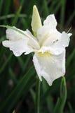 Witte gebaarde iris Royalty-vrije Stock Foto