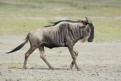 Witte Gebaarde Wildebeest die, Tanzania lopen Stock Fotografie