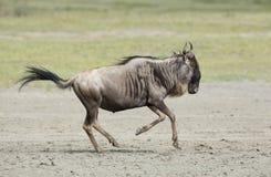 Witte Gebaarde Wildebeest die, Tanzania lopen Royalty-vrije Stock Afbeelding