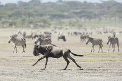 Witte Gebaarde Wildebeest die, Tanzania lopen Stock Afbeeldingen