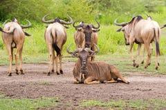 Witte Gebaarde Wildebeest, Getijgerd GNU, Antilope met hoornen bij het Nationale Park van Serengeti, Tanzania, Afrika royalty-vrije stock afbeeldingen