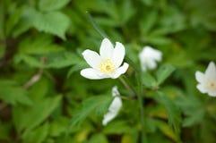 Witte gebieds witte bloem Sluit omhoog mening van een weinig witte bloemen royalty-vrije stock fotografie