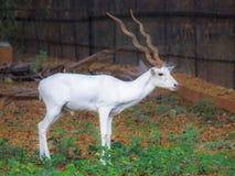 Witte Gehoornde Herten Royalty-vrije Stock Foto's