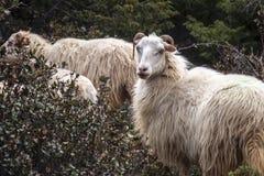 Witte gehoornde lange pelageschapen stock foto
