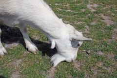 Witte geit Stock Foto's