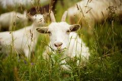 Witte geit Royalty-vrije Stock Foto's