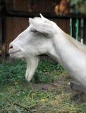 Witte geit Stock Afbeeldingen