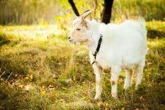 Witte geit Stock Foto