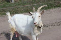 Witte geit Royalty-vrije Stock Fotografie