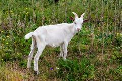 Witte geit Royalty-vrije Stock Afbeelding