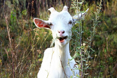 Witte geit Stock Fotografie