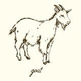 Witte geit Stock Afbeelding