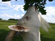 Witte geit royalty-vrije stock afbeeldingen