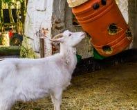 Witte geit die hooi eten uit plastic vat, eenvoudige landbouwbedrijf het dierlijke voeden oplossingen royalty-vrije stock foto's