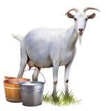 Witte geit met emmershoogtepunt van melk. Stock Foto