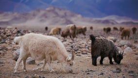 Witte geit met hoornen op het weiland stock videobeelden