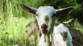 Witte geit op een gebied stock videobeelden