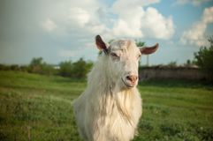 Witte geit op een groene weide op een landbouwbedrijf Stock Fotografie