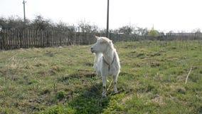 Witte geit op gebied stock footage