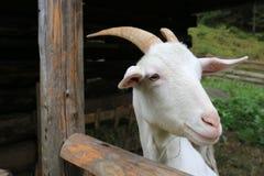 Witte geit op landelijk landbouwbedrijf royalty-vrije stock afbeeldingen