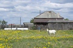 Witte geit in Russisch dorp Royalty-vrije Stock Afbeeldingen