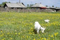 Witte geit in Russisch dorp Stock Foto's
