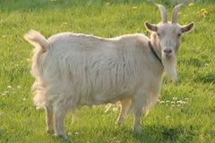 Witte geit in weide Royalty-vrije Stock Afbeelding