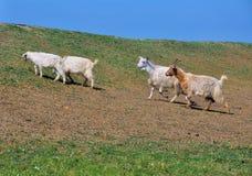 Witte geiten Stock Foto's