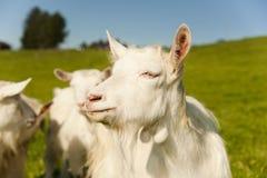 Witte geiten Royalty-vrije Stock Foto