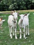 Witte geiten Royalty-vrije Stock Afbeelding