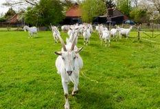 Witte geiten die in het groene weiland lopen Stock Foto's