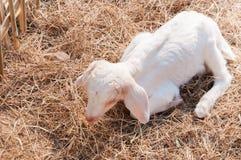 Witte geiten in landbouwbedrijf, Babygeit in een landbouwbedrijf Royalty-vrije Stock Foto