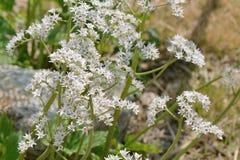 Witte gekleurde Mukdenia-rossiibloemen royalty-vrije stock foto